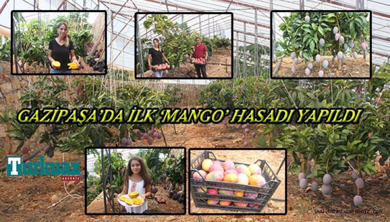 Gazipaşa'da ilk 'mango' hasadı yapıldı