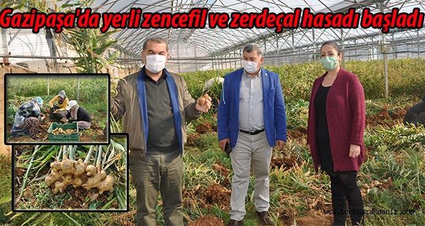 Gazipaşa'da yerli zencefil ve zerdeçal hasadı başladı