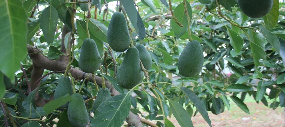 Gazipaşa'dan ilk avokado ihracatı